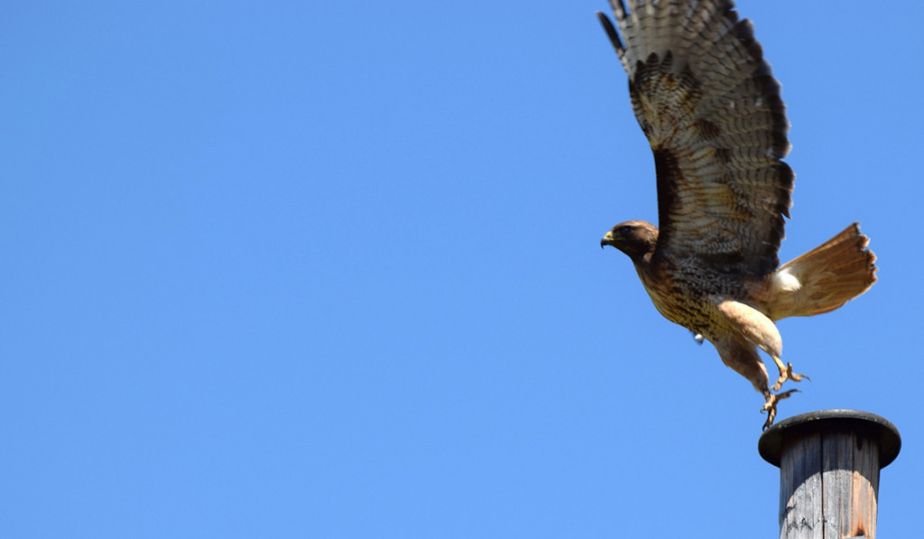 Red tail 2_blog