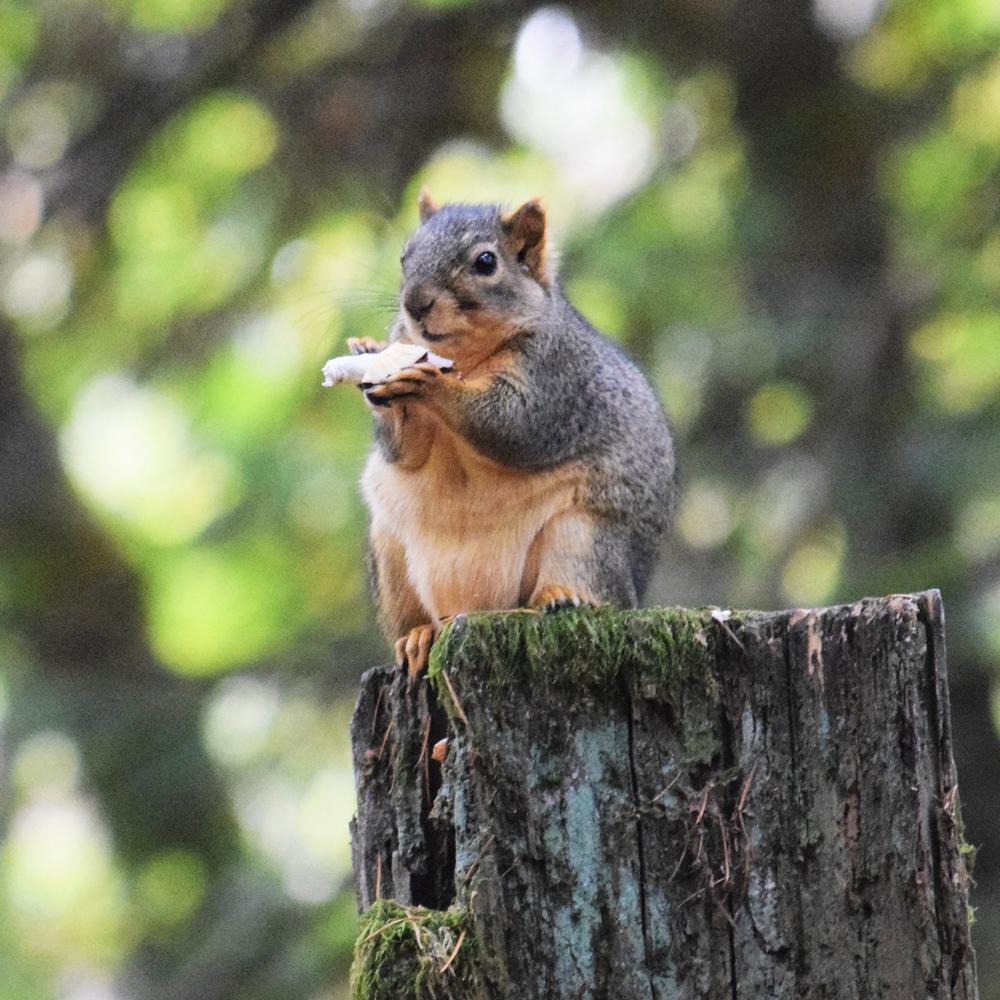 Squirrel square 1