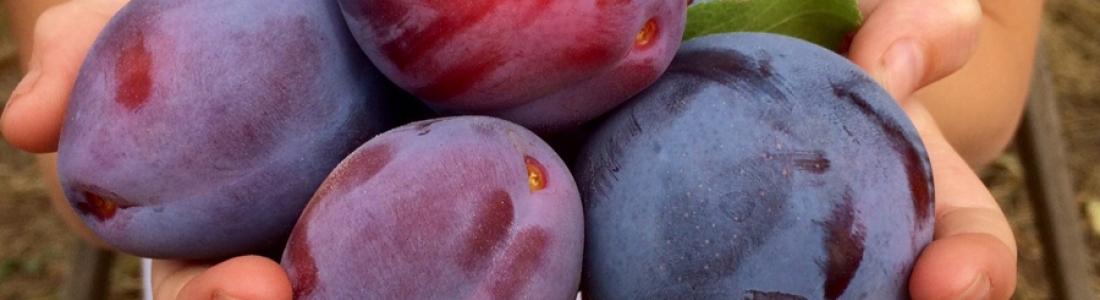 Polishing … prunes and me